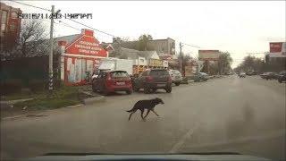 2*Животные-пешеходы,умные и дурные! Law-abiding pedestrian
