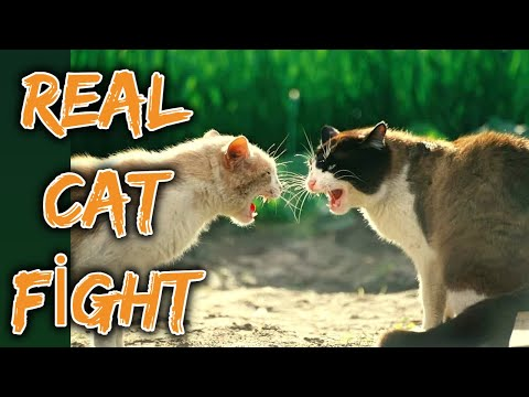 Angry cats meowing loudly before fighting │Very loud cat fight meowing sounds