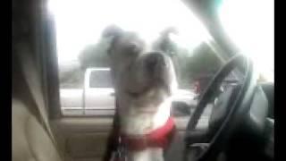 funny dog sounds like a duck!!