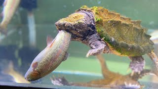Alligator snapping turtle eats rainbow trout