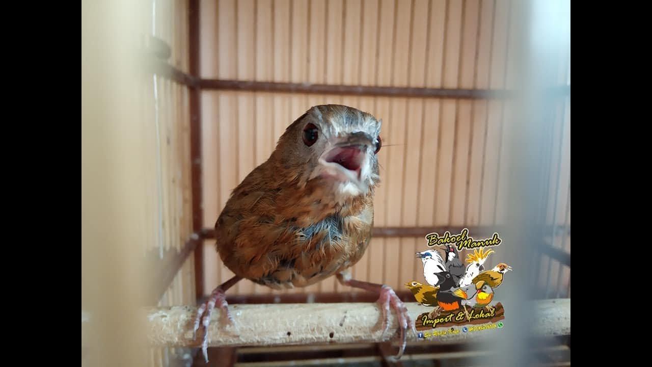 Kicau Burung Wambi Mini Gacor Ngeplong Youtube