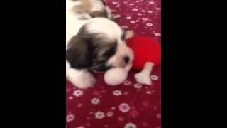My Maltese Shitzu X Poodle Pups