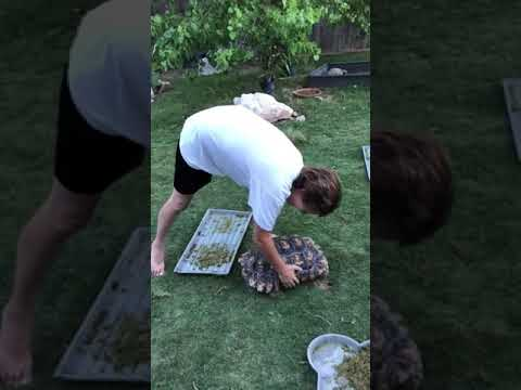 Mornings with Kevin O'Neill - Watch This Tortoise Pee On Owner While Being Held