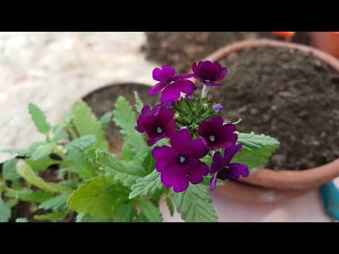 84. How To Grow Verbena.
