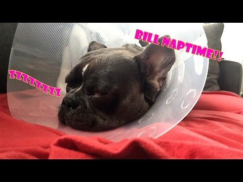 Bill the French Bulldog Dreaming of Chasing Squirrels (Cone of Shame Edition)