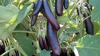 Урожай баклажанов(Как вырастить баклажаны? Как добиться высокого урожая баклажанов на своём огороде. Особенности и тонкости..., 2015-07-19T08:37:48.000Z)