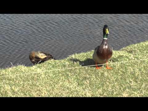 Mallard Ducks Preening Near Hastings Michigan