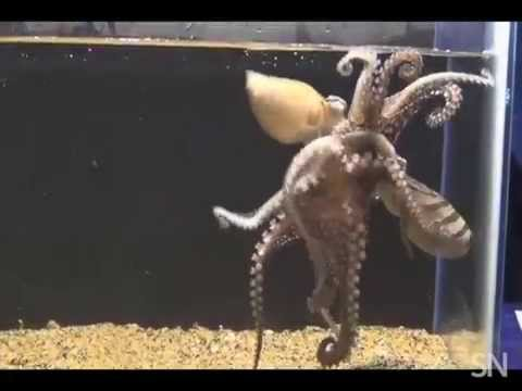 Let's talk about octopus sex | Science News