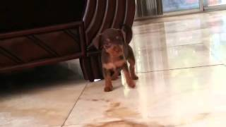 Miniature Pinscher's Mix Maltese Poodle