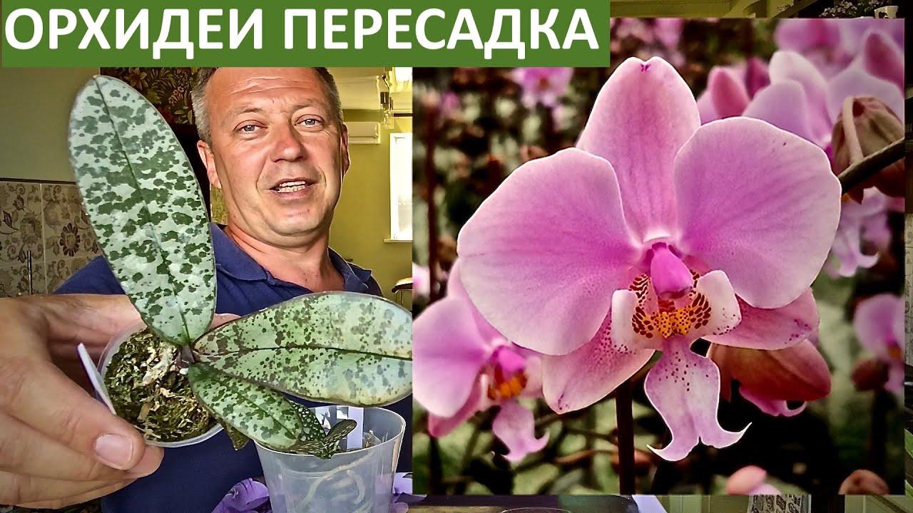 ОРХИДЕИ Шиллериана и Стюартиана | потрошим и стимулируем корни орхидеи | пересадка орхидей