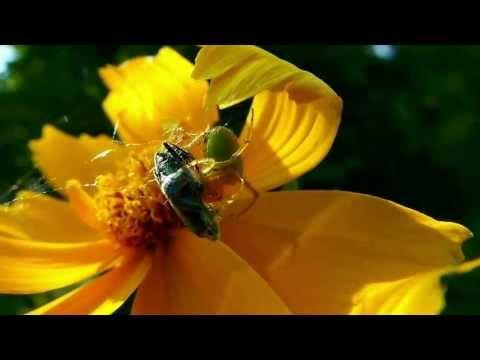 Une Araignée courge (Araniella cucurbitina) et sa proie, un malheureux Oedémère noble - Milhas - 31