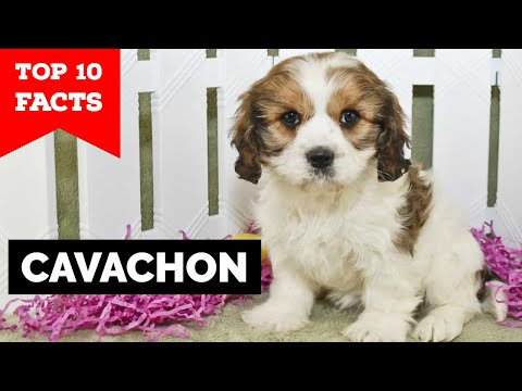 Cavachon - Top 10 Facts