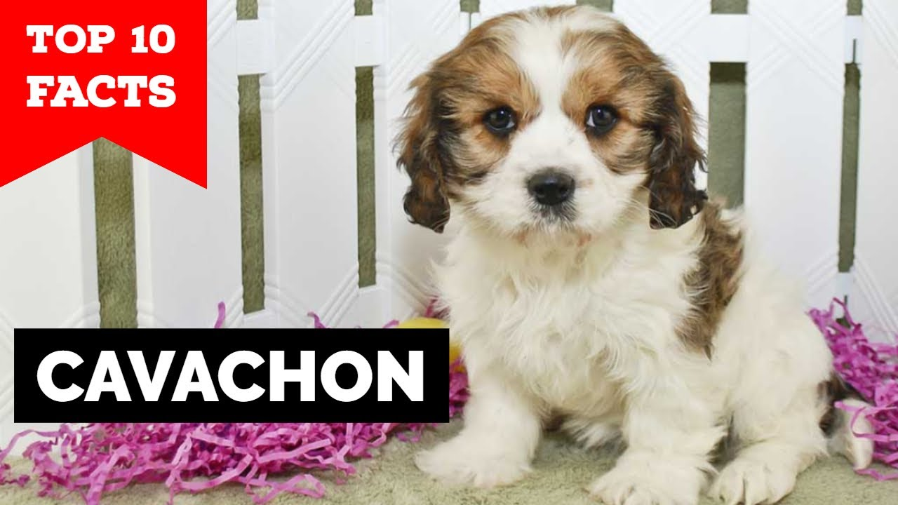 Cavachon Top 10 Facts You