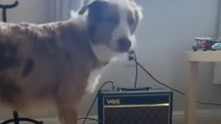 Aussie pup loves to sing the blues thumbnail