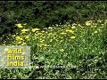 Caltha Palustris Or Marsh Marigold mp3