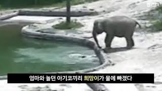 물에 빠진 아기 코끼리 구한 엄마와 보모 코끼리