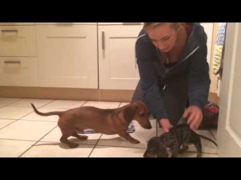 When Errol Met Bertie - Errol meets new sausage dog puppy for the first time