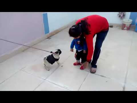a pug dog attack on a child and trying to bite