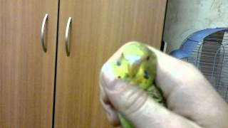 определение пола волнистых попугаев.