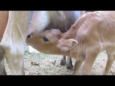 Image result for nursing calf