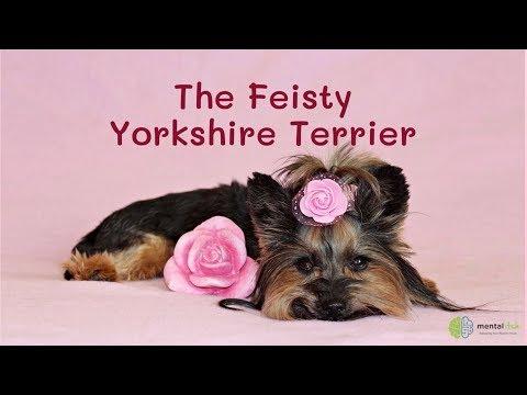 The Feisty Yorkshire Terrier