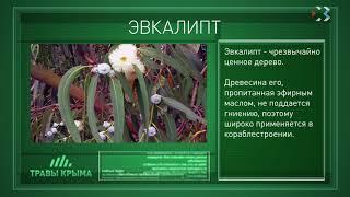 Травы Крыма. Выпуск 96. ЭВКАЛИПТ
