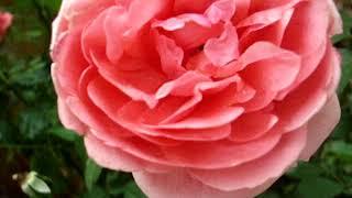 Лучшие английские розы для загородного участка
