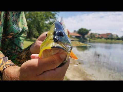 Black Peacock Bass | Monster Mike Fishing