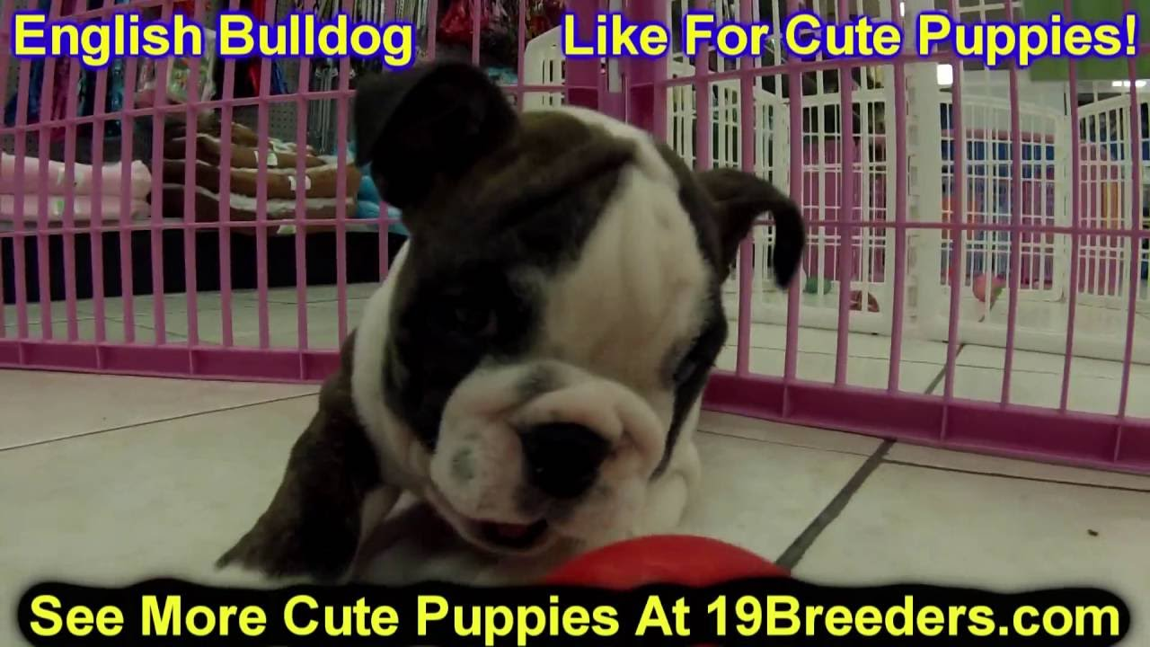 English Bulldog Puppies Dogs For Sale In New York New York Ny