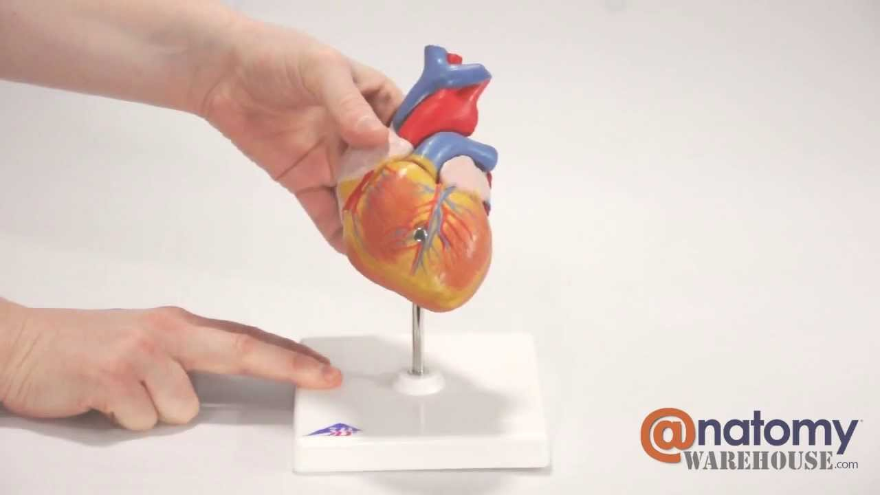 Classic Human Heart Anatomy Model By Anatomywarehouse Youtube