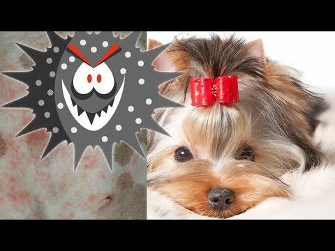 Дерматит у собак