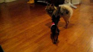 Long Haired Chihuahua Vs. Pomeranian