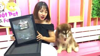 Mật Pet nhận Nút Bạc - Chuẩn bị tặng chó Alaska ăn mừng kìa bà con ơi  ➤ Mật Pet Family