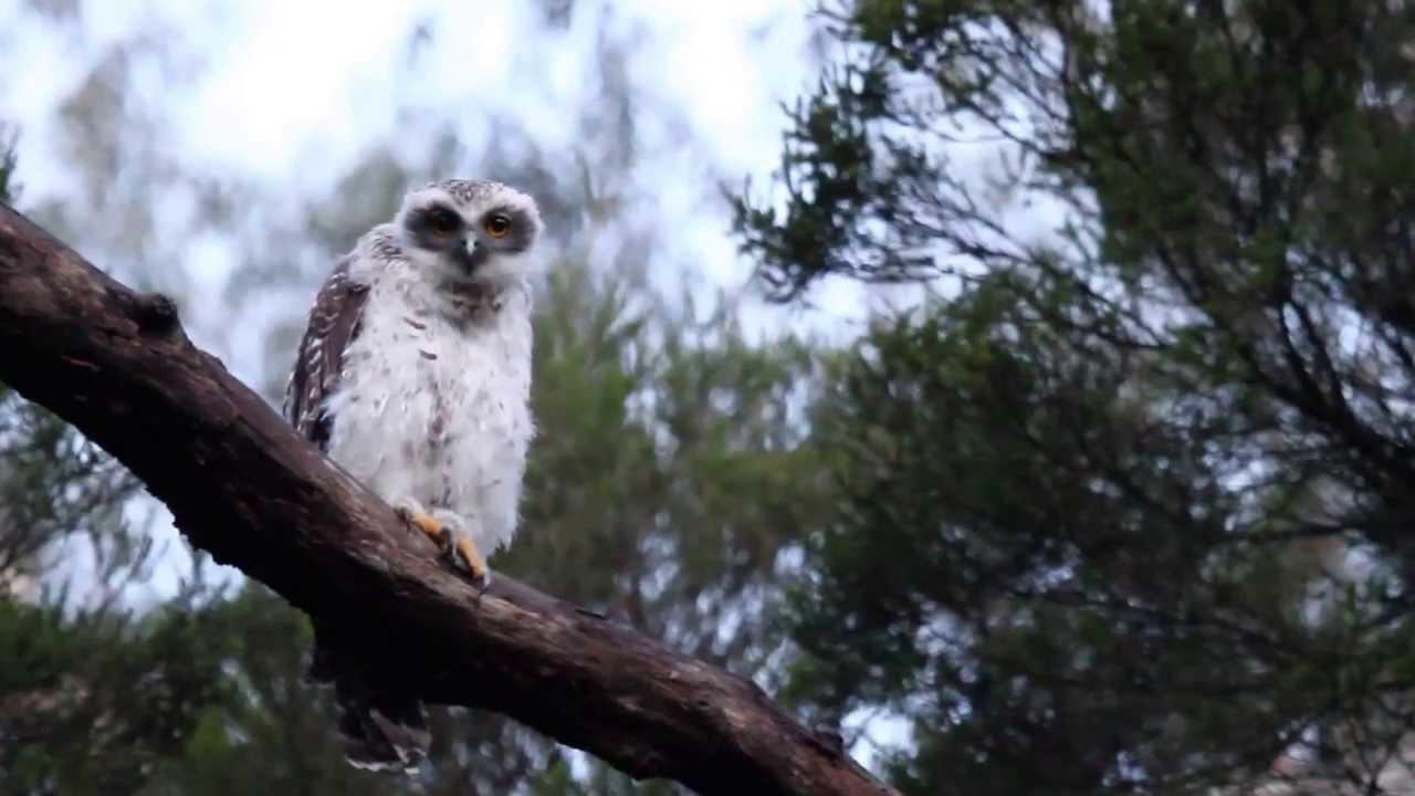 Powerful Owl Project   BirdLife