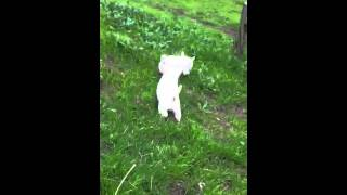 West Higland White Terrier  Criadero MINI TOY Chile