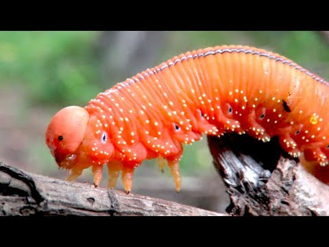 Ложногусеница - Пилильщик жёлтый осиновый, Cimbex Luteus