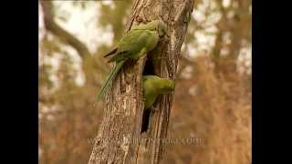 Parakeets nesting in Sariska National Park