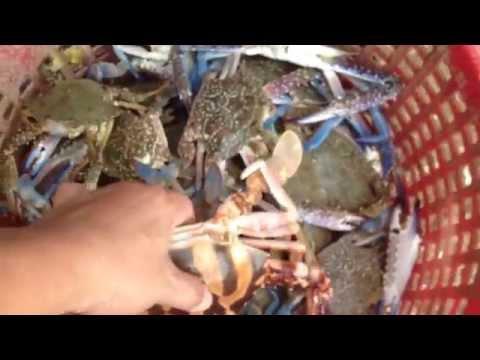 ไปดู วิธีการแกะปูทะเลออกจากอวนขั้นเทพ ที่หาดบางเบิด Big sea Crab Blue crab