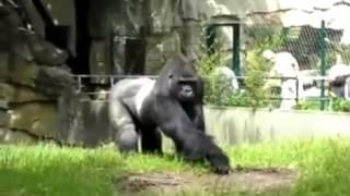Месть гориллы!(Месть гориллы! теги кошки, собаки, рыбы, птицы, рептилии, грызуны, рептилии, амфибия, звери, медведи, лиса,..., 2014-02-10T15:52:14.000Z)