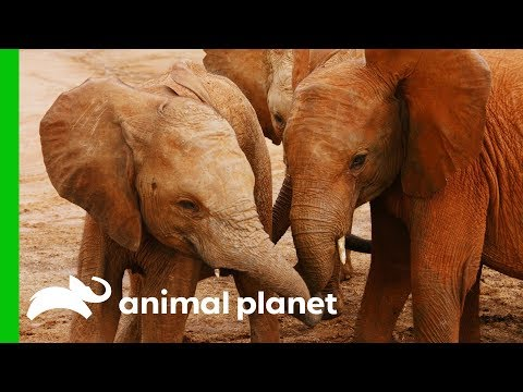 Orphaned Elephants Reunite With Friends | Dodo Heroes