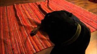 "Rottweiler Cujo Singing ""titanic"" - Theme"