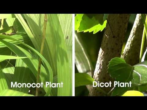 Monocot and Dicot Plants - OLabs