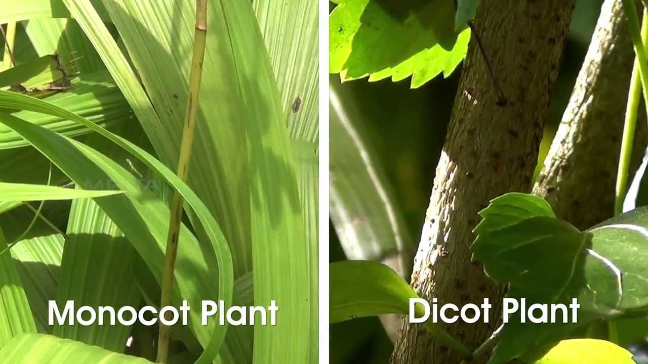 Pictures Of Monocot Plants 82