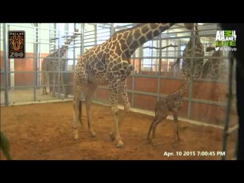 Thumbnail: Katie the Giraffe Animal Planet LIVE Birth 4/11/15