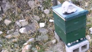 Year of Beekeeping Episode 49, collony collapse