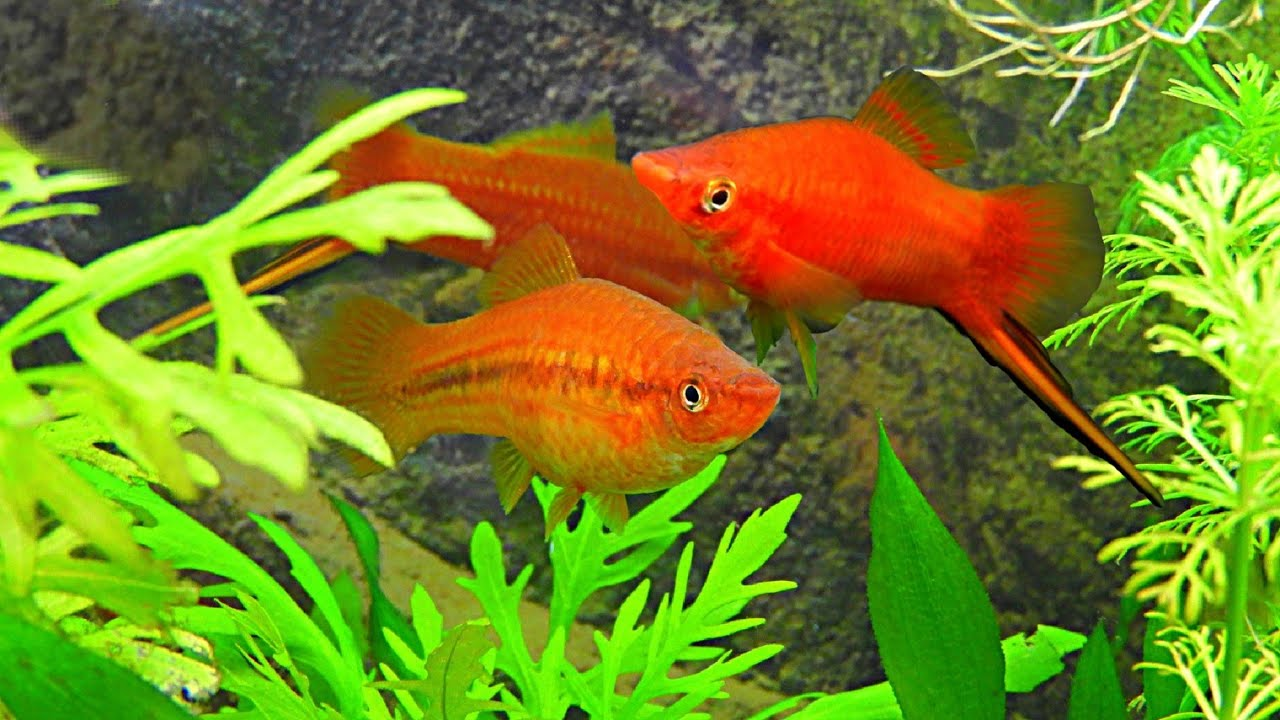 Swordtail Fish: Complete Guide For Caring And Breeding | 720x1280