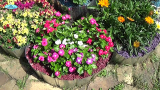 видео Однолетники и многолетники цветов