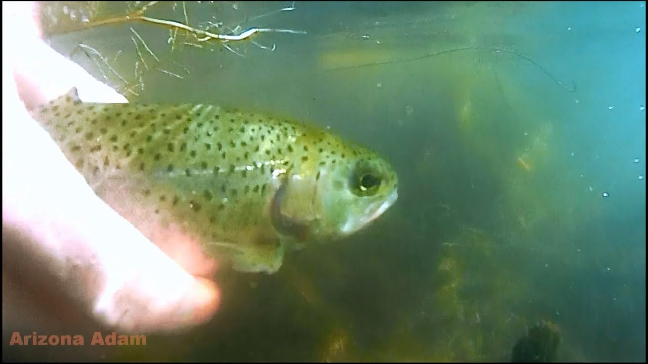 Arizona lower salt river rainbow trout fishing youtube for Az game and fish fishing report