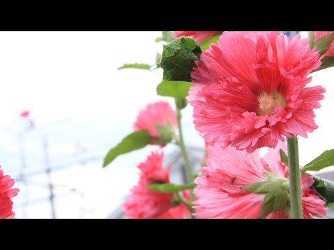 【Hatsune Miku / 初音ミク】儚い花【オリジナル】-marine underground-