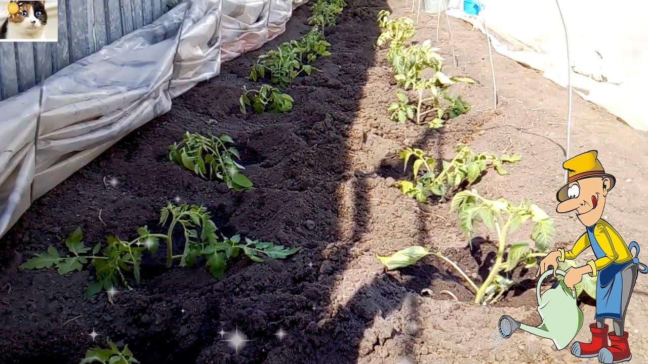 как правильно посадить помидоры в парнике